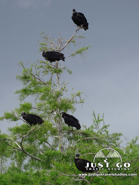 Vultures in Everglades National Park