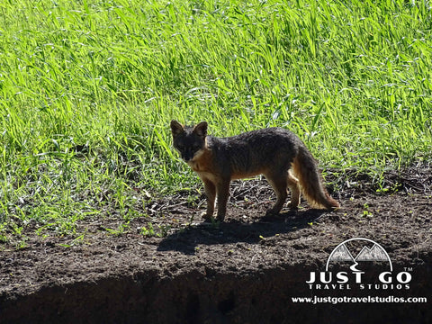 Island fox seen while hiking in Channel Islands National Park