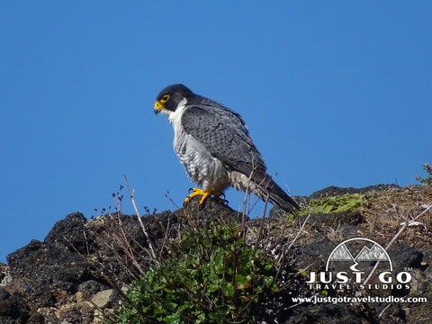 Peregrine Falcon on Santa Cruz Island in Channel Islands National Park