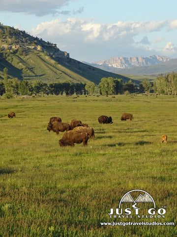 Bison roaming the plains in Grand Teton National Park