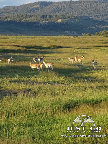 Pronghorn roaming the plains in Grand Teton National Park