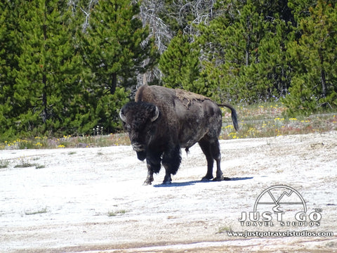 Bison near Upper Geyser Basin in Yellowstone National Park Wildlife
