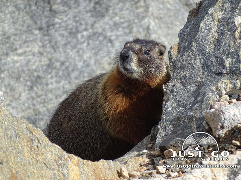 Marmot peaks his head out of a rock pile on the Beartooth Pass