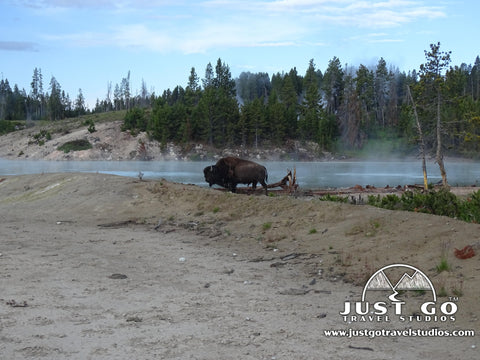Bison near Dragon's Breath in Yellowstone National Park Wildlife