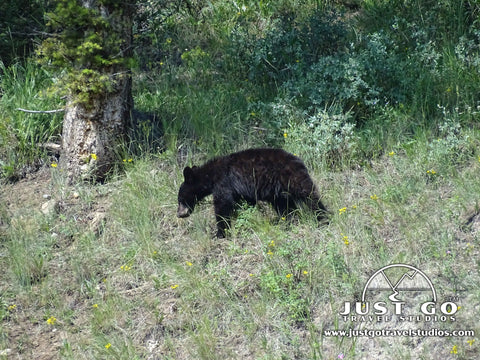 Black bear cub inside of Yellowstone National Park