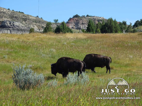 Two bison grazing in Theodore Roosevelt National Park