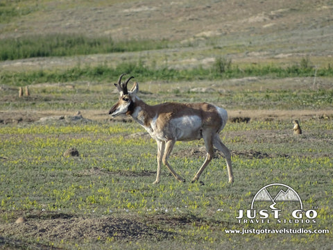 Pronghorn roaming in Theodore Roosevelt National Park