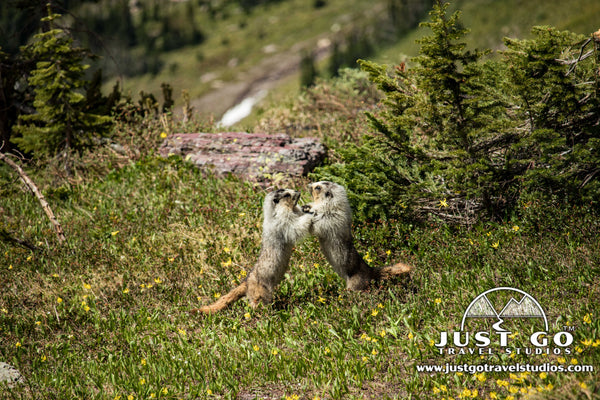 Marmots fighting in Glacier National Park