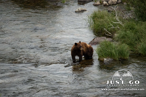 Brown bears in Glacier National Park