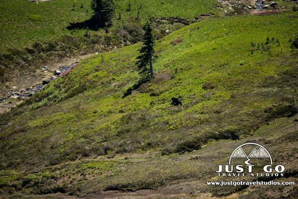 Black Bear in Mount Rainier National Park
