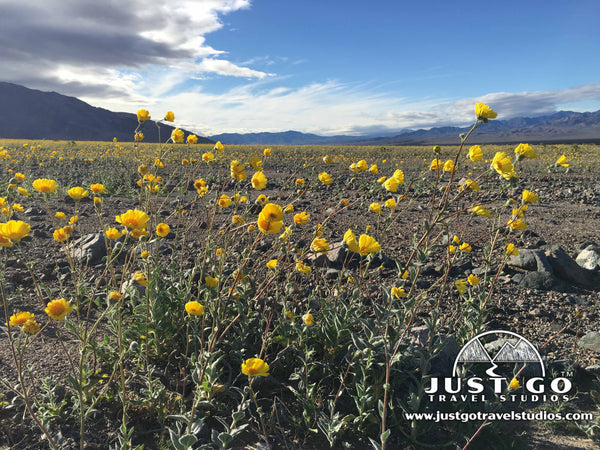 Superbloom in Death Valley National park