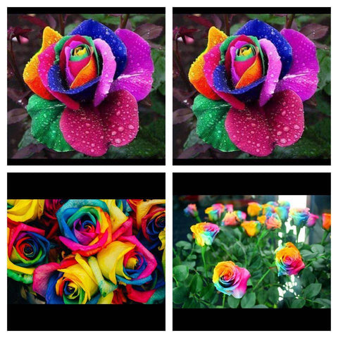 100 PCS RARE RAINBOW ROSE SEED PACK