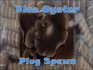 Blue Oyster Mushroom Plug Spawn 50 Count Log Cultivation
