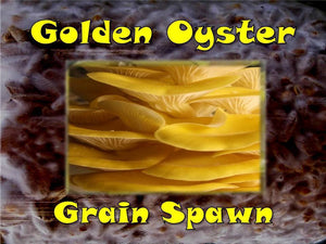 Golden Oyster Mushroom Grain Spawn Seeds  6oz Bag Organic