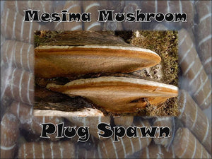 Mesima Sword Belt Mushroom Plug Spawn 50 Count Log Cultivation Medicinal