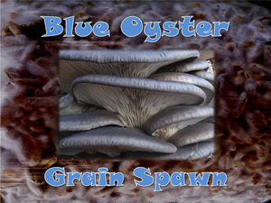 Blue Oyster Mushroom Grain Spawn Seeds  6oz Bag Organic