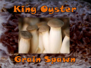 King Oyster Mushroom Grain Spawn Seeds  6oz Bag Organic