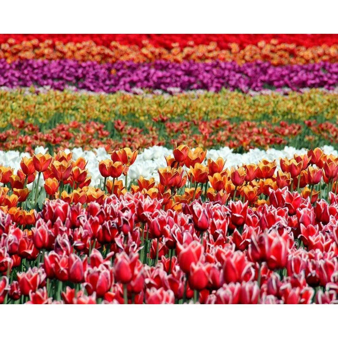 DIY Paint by Number kit for Adults on Canvas-Field of Tulips-Clean PBN