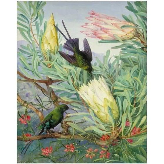 Honeyflowers and Honeysuckers - Marianne North - 1882 - Paint by Numbers Kit