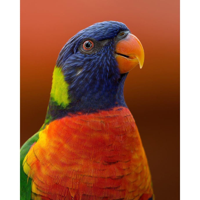 DIY Paint by Number kit for Adults on Canvas-Rainbow Parrot-Clean PBN