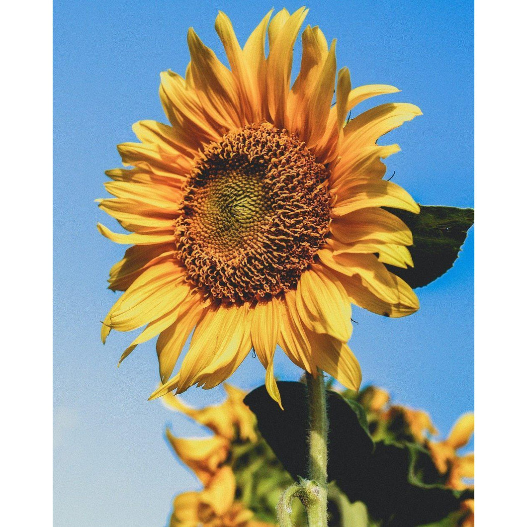 DIY Paint by Number kit for Adults on Canvas-Summer Sunflower-Clean PBN