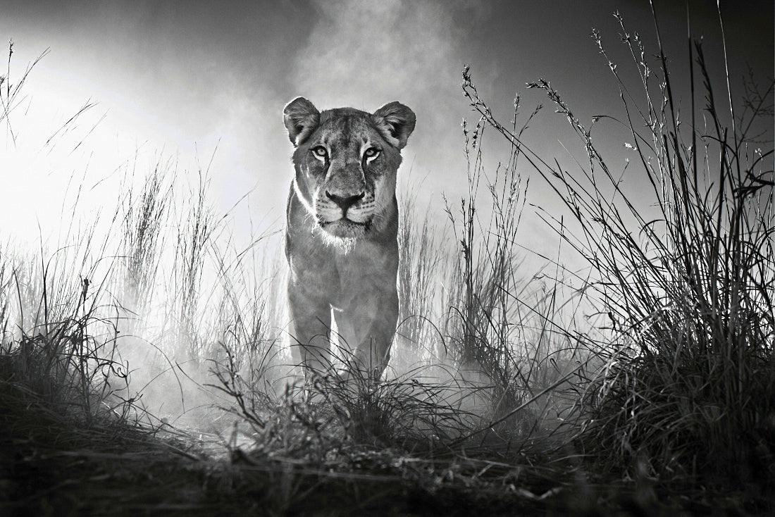Lioness Female Lion Black White Poster | Uncle Poster