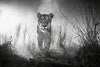 Lioness Female Lion Black White Poster