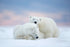 Polar Bears Snow Winter Poster