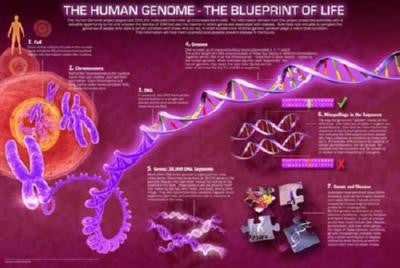 Human Genome Mini Poster #01 Blueprint Of Life 11inx17in Mini Poster
