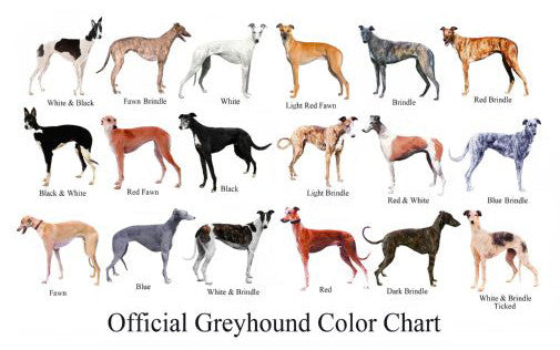 Dogs Greyhound Color Chart 11inx17in Mini Poster