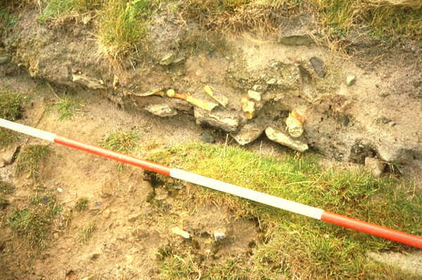 The bones protruding from the dunes in the Scar site where the archaeologists discovered the Viking burial grave