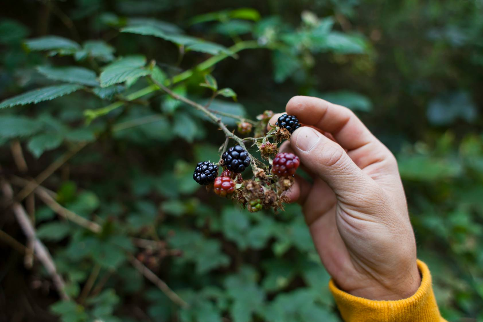 Person in a yellow shirt holding wild berries with their fingers off a bush