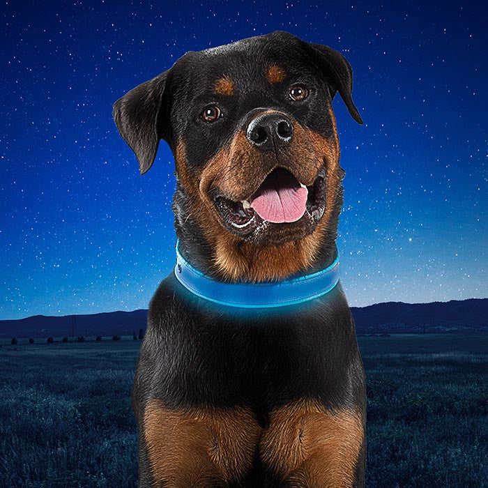 A rottweiller wearing a Nite-Ize Rechargeable LED Dog Collar. The collar is glowing blue and a large grassy field with a star lit night sky show in the background.