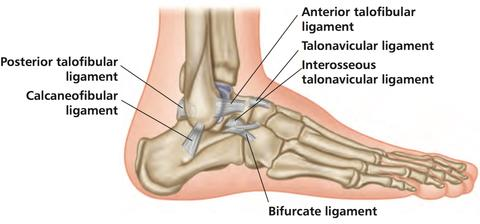Relationship of the Gluteus Muscles to Ankle Sprains