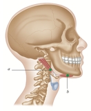 Trigger Point Therapy: Digastricus