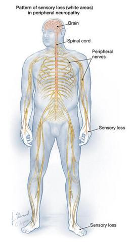 diagram of the human body's peripheral nerve neuroanatomy