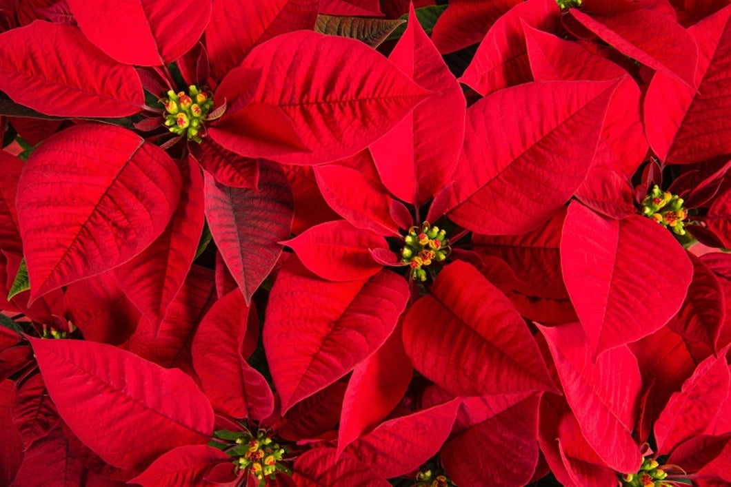 6-inch Poinsettia RED