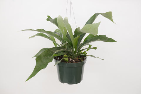 staghorn fern 6""