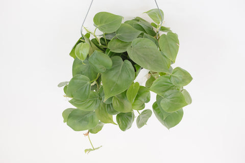 philodendron / heart leaf green 6""