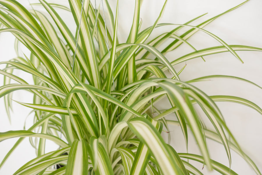 "Picture of Spider Plant Variegated aka Chlorophytum comosum Hanging Live Plant Fit 4"" Pot"