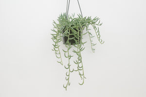 senecio / string of fish hooks