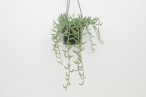 senecio / string of fish hooks 6""