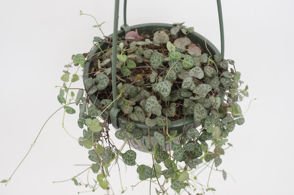 ceropegia / woodii (string of hearts) 6""