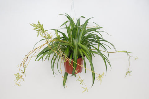 hawaiian spider plant 6""