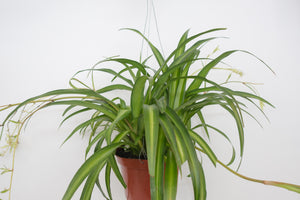 spider plant / hawaiian 6""