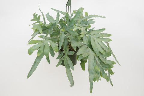 blue star fern 6""
