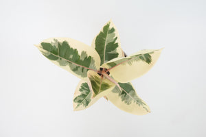 ficus / decora tineke (rubber tree) 6""