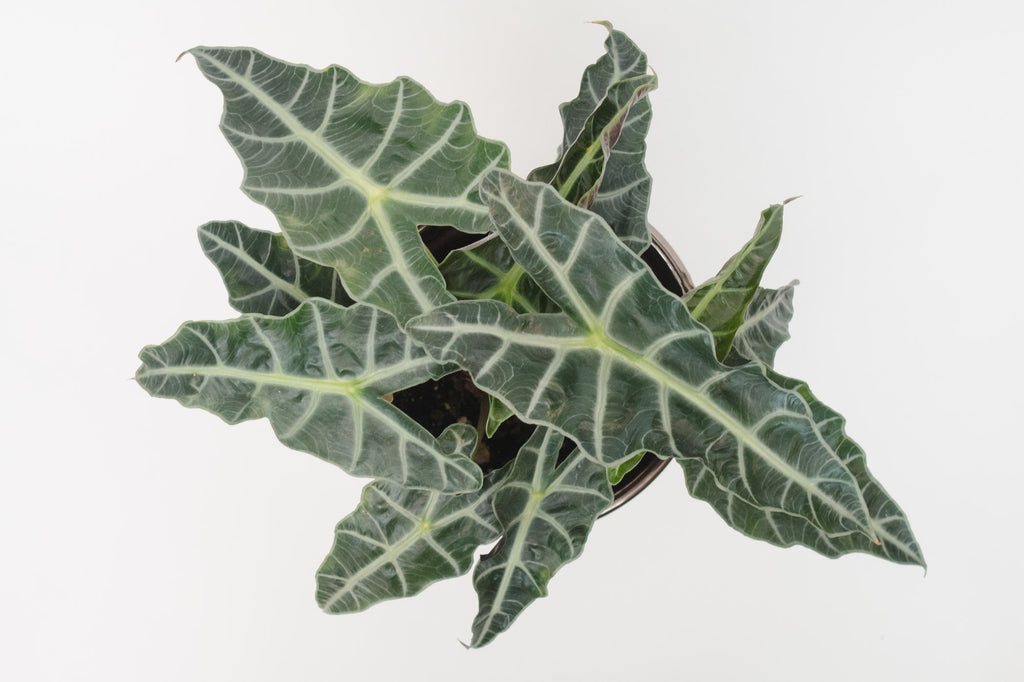 alocasia / polly 6""