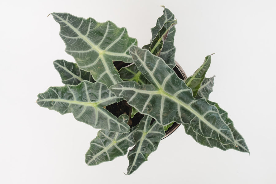 alocasia / polly