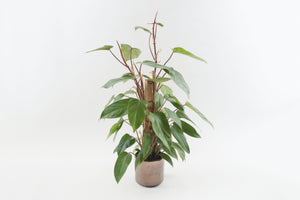 philodendron / red emerald